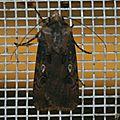Agrotis longidentifera ranavalo
