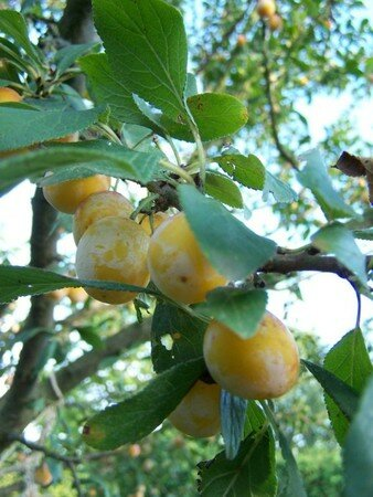 1_fruits_des_mirabelles