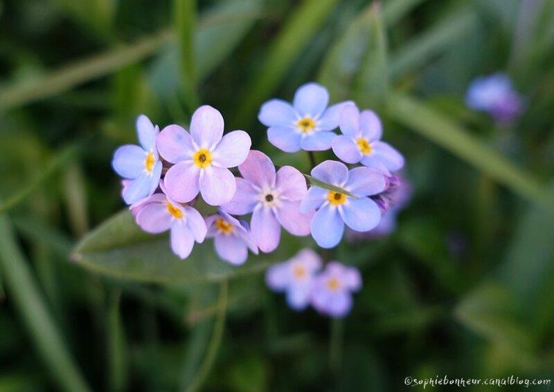 printemps myosotis