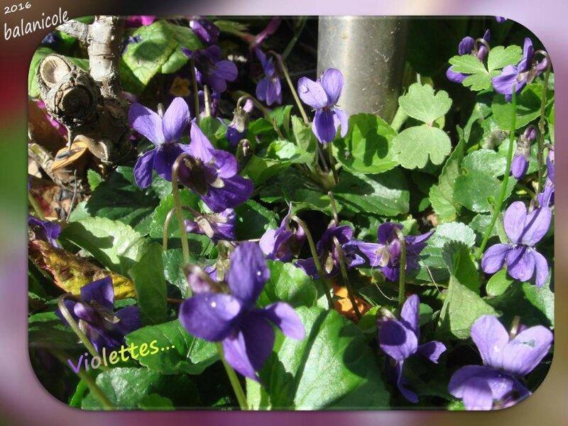 balanicole_2016_04_avril_28_violettes