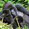 Mother-gorilla-with-babies