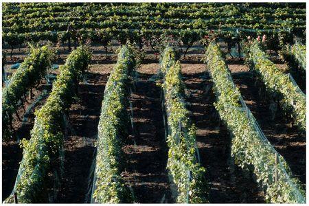 Vigne de Suresnes 11