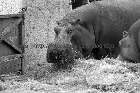 hippopotame_nb