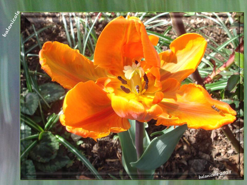 balanicole_2017_05_le printemps des tulipes_06_orange