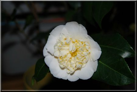 camelia 008b