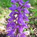 Beaumont châtaigneraie, les orchidées