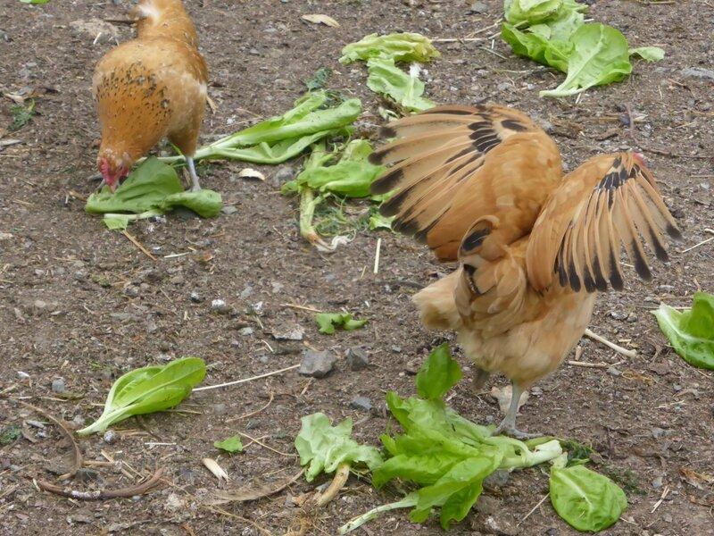 30-poules et salade (7)