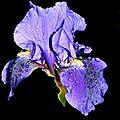 05-Fleurs sur fond noir