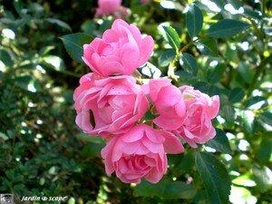 Roses délicates non identifiées