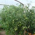 2008 08 16 Mes tomates sous serre, les araignées rouges commence a envahir les plants