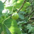 Confiture de figues vertes