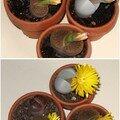 lithops fleuri