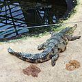 Crocodile à museau allongé -Afrique