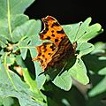 Polygonia c-album ( le robert le diable )