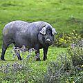 Pluma de porc ibérique marinée au barbecue