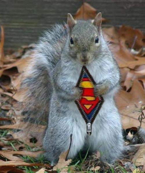_cureuil_superman
