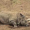 Six rhinocéros blancs arrivent au zoo de san diego comme futures mères porteuses
