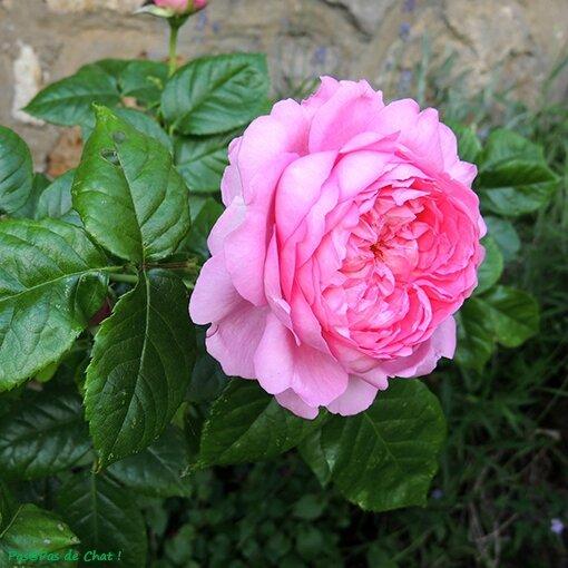 rose1-00-pasapsdechat