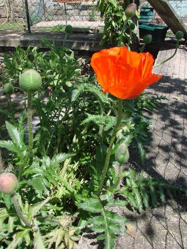 2008 06 14 Ma première fleur de pavot d'Orient