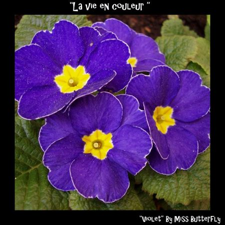 La vie en couleur -Violet by Miss Butterfly