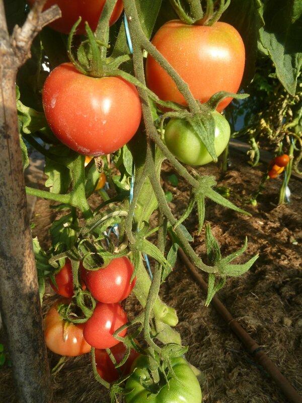 14-tomates serre (4)
