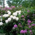 La symphonie des Rhododendrons…