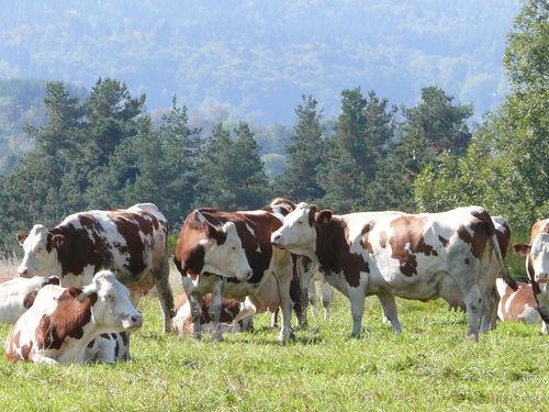 2008 09 27 Les vaches des voisins