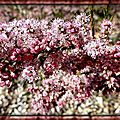 Fleurs de Tamaris