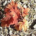 feuilles-rousses