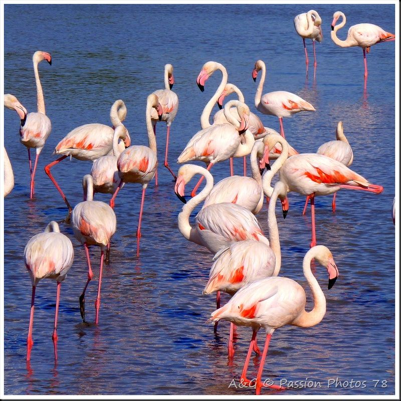 Flamants-Roses - Allo Betty