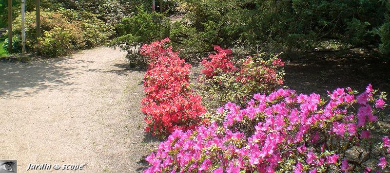 Rhododendrons et Azalées du Parc botanique de Tours