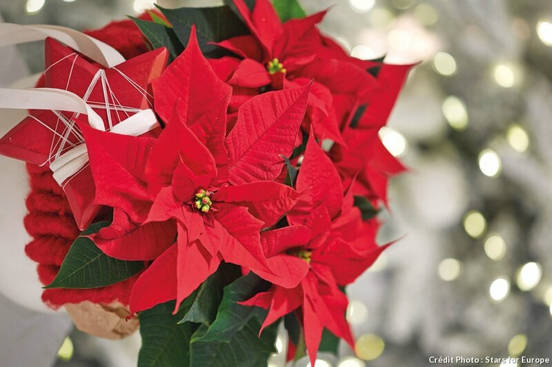 djweb_poinsettia_2015-poinsettia-proche-illumination-fr