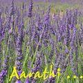 Lavender - Queen of herbs