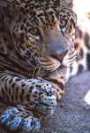 amazon_jaguar