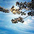186 - cerisier en fleurs.