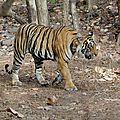 Inde : le braconnage des tigres en hausse !