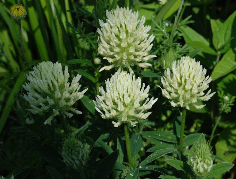 Trifolium ocholeucon