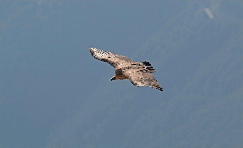 Haut Aragon juin 2017 J2 Castillo 8 oiseau vautour