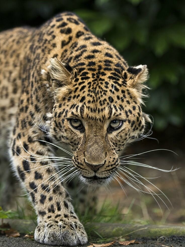 Big cats by Colin Langford