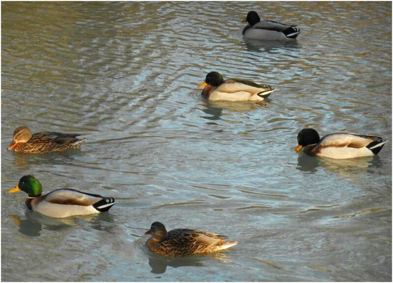 canards groupe