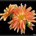 Fleurs sur f noir (2)