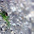 Petite iragne verte