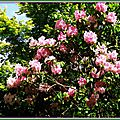 Rhododendron 050515