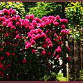 Rhododendron 110515