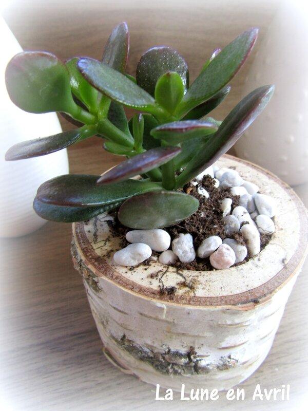 succulentes et bouleau 2