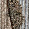 Un curieux petit papillon de nuit aux ailes très plumeuses !