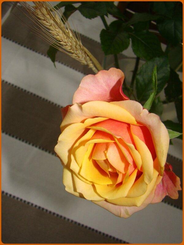 rosejaune3
