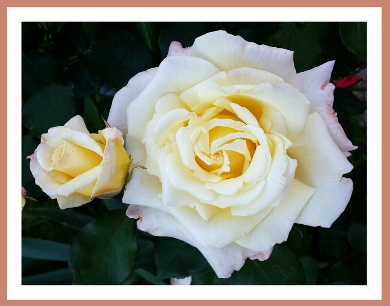 16 06 07 Roses blanches 21h24