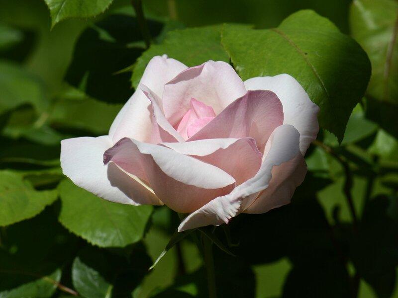 Rose Sophie 11