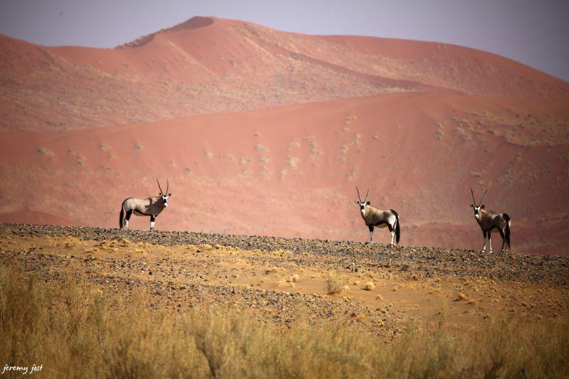 oryxs dans le desert du namib